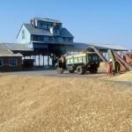 зерно урожая