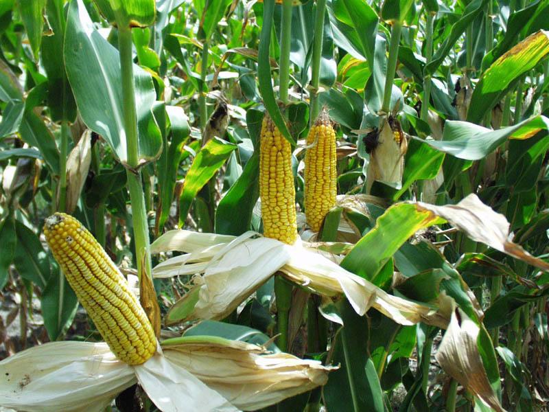 Выращивание кукурузы на початки 100