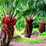 пальма масличная