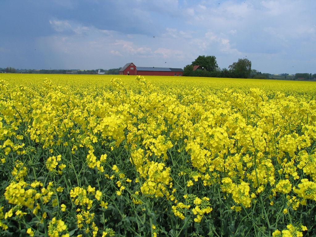 Выращивание ярового рапса в украине 92