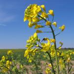 Brassica_napus_flower